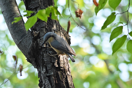 Eurasian Nuthatch Siting down on the Tree. Stock Photo
