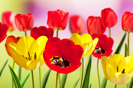 Red and Yellow Tulips in the Springtime