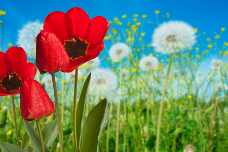 Red Tulips in the Meadow in the Springtime Stock Photo