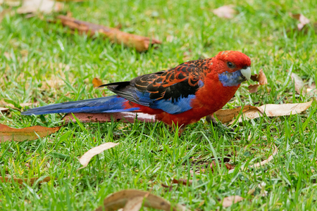 Crimson Rosella standind in the grass on the ground.