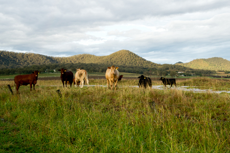 Livestock in the pasture in Australian countriside.