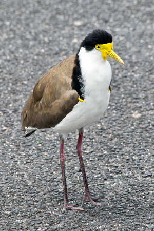 Southern masked lapwing standing on the ground. In Australia.