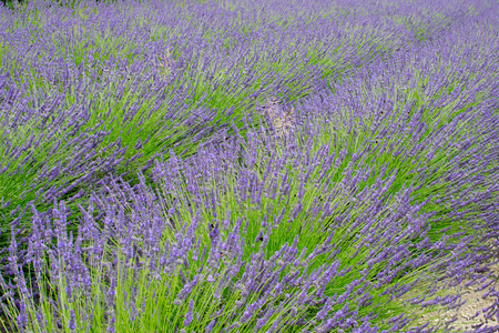 Detail of lavender field in the summer time Stock Photo