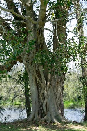Detail of strangler fig in the wilderness. Australia.