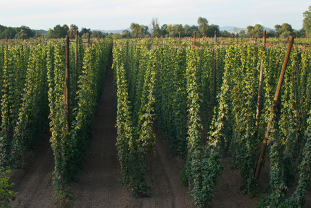 Hop field near Zatec town in Czech Republic.