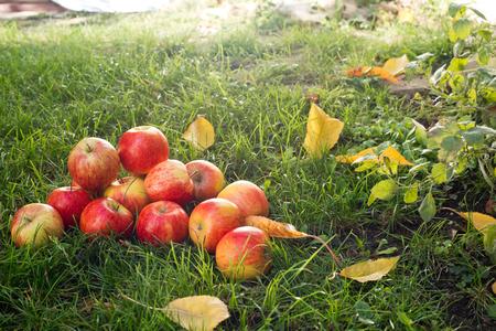 Tas de pommes rouges dans le jardin