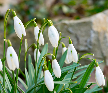A bed of the snowdrops in the garden Stock Photo