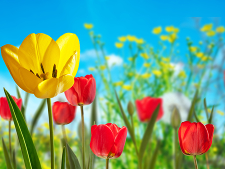 Yellow and red tulips in the meadow