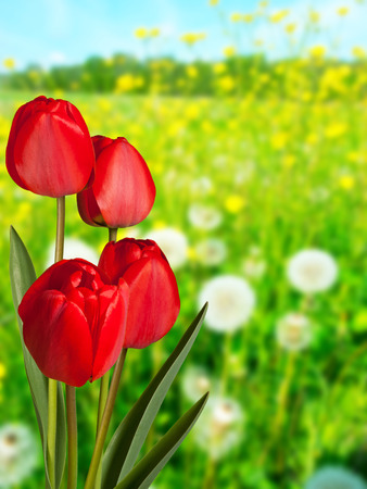Red tulips in the meadow in the springtime 写真素材