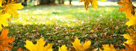Maple leaves in the park. Autumn background. Imagens