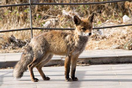 Red fox . Torcal de Antequera. Spain Imagens