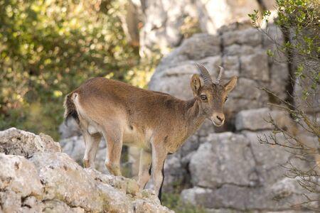 Iberian ibex in the wilderness. Spain. Imagens