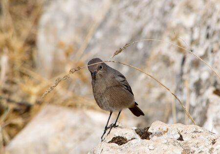 Female black redstar. Andalusia. Spain. Imagens