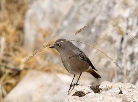 Female black redstar. Andalusia. Spain. Reklamní fotografie