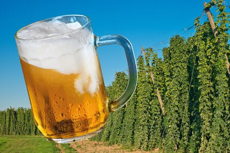 Glass of beer with hop field.