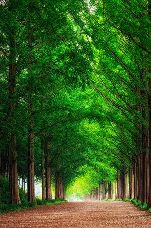 Damyang Metasequoia Road in South Korea  Taken in summer