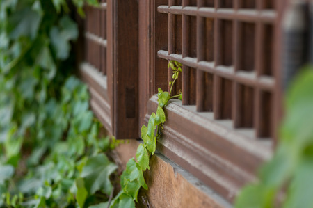 Vines on a wooden window in Changpyeong, South Korea