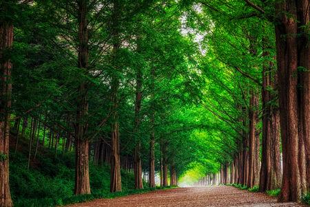 Damyang Metasequoia Road in South Korea. Taken in summer. Stock Photo