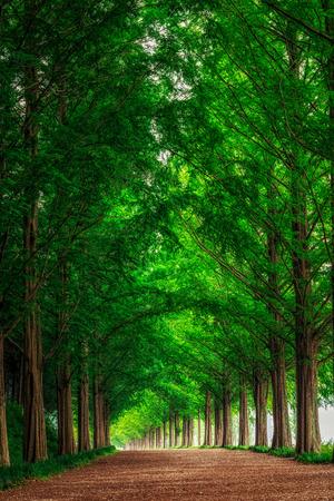 meta: Damyang Metasequoia Road in South Korea. Taken in summer. Stock Photo