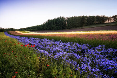 biei: Filed of flowers stretching for miles under the sunset  Taken in Biei, Japan