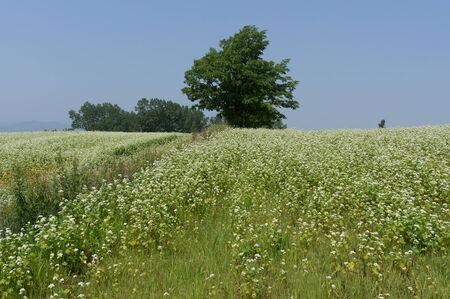 biei: Field of buck wheat in Biei, Japan under summer sunlight