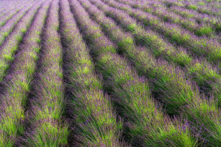 lavendar: Rows of lavendar stretching for miles Stock Photo