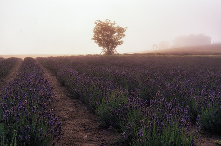 biei: field of flowers stretching for miles in a morning fog. Taken in Biei, Japan