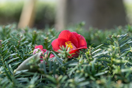 camellia japonica: Camellia japonica laid on top of bushes. Taken in Gangneung, South Korea. Stock Photo