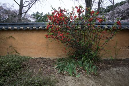 rooftile: red camelia on the wall in a garden of a famous historical site in Gangneung, South Korea. Stock Photo