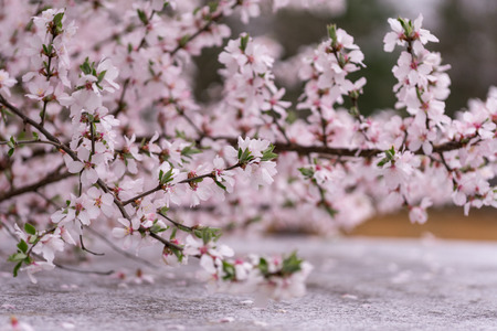 Cherry blossom in Gangneung South Korea. Taken during the festival.