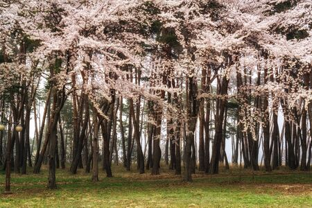 cherry blossoms growing amongst the pine tree forest with fogs in the background.