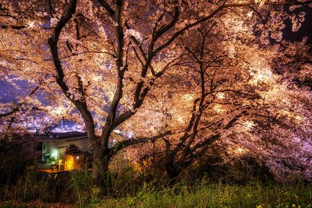 cherry blossom trees in full blossom during spring in a mountain of Gangeung, South Korea.
