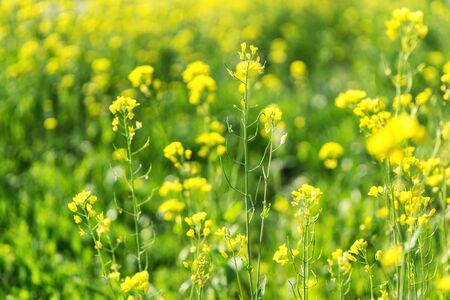 blossom time: canola flowers growing in a flower field during spring blossom time.