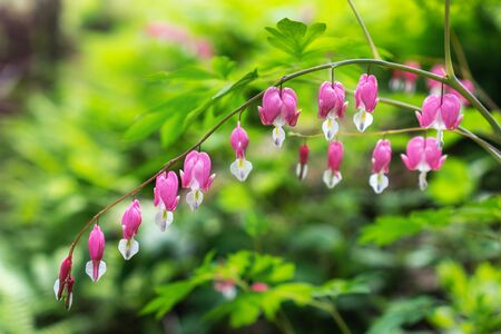 bleeding heart: Bleeding heart flowers blossoming in a mountain hill side in South Korea.