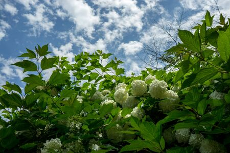 bigleaf hydrangea: Hydrangea macrophylla flowers in a small temple in Sunchang, South Korea. White Hydrangea flowers with a blue sky in the background.