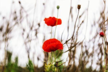 codeine: Small poppy flowers blossoming around a wetland field in Gangneung Gyeongpo wetlands park. Taken around summer.
