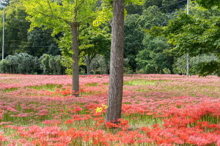 spider lily: gochang seonunsa field of red spider lily flowers. Red spider lily or lycoris radiata blooming around the temple region