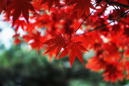 Autumn fall foliage color of a maple tree leaf in seoul, south korea. Taken with the defocused background.