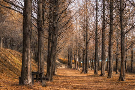 lonesome: metasequoia road in haneul park in mapo province in seoul, south korea. taken during fall foliage and when the leaves have fallen off. Stock Photo