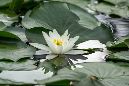 white water lily in a small pond in queenstown gardens in new zealand. Stock Photo