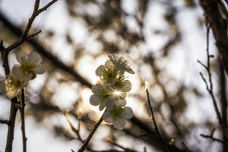 japanese apricot flower: plum flower blossom close up shots taken during spring season . in seoul, south korea. Stock Photo