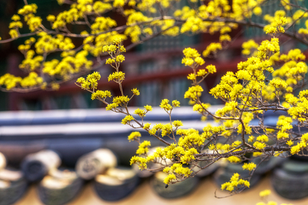 rooftiles: cornus flowers near traditional korean rooftiles taken during spring blossom season.
