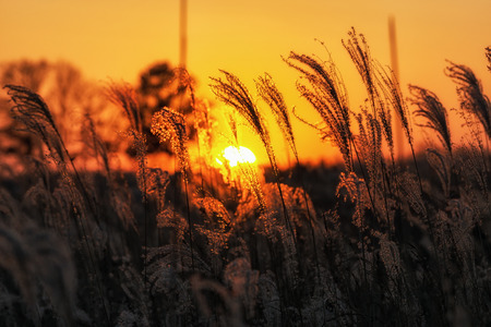 Silhouette of tall reeds or silver grass taken against the sunset. Taken in Haneul Park, Seoul, South Korea