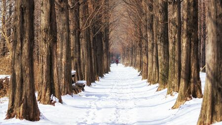 snow covering the path in between metasequoia road in haneel park, seoul, south korea