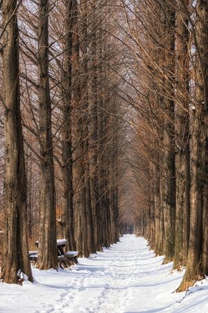sequoia: snow covering the path in between metasequoia road in haneel park, seoul, south korea