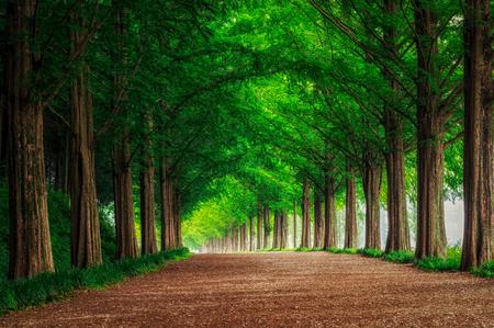 sequoia: Damyang Metasequoia Road in South Korea. Taken in summer. Stock Photo