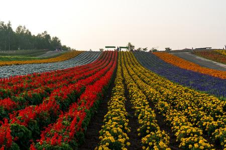 Field of flowers stretching for miles. Taken in Biei, Japan.
