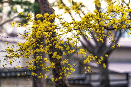 yellow spring blossoms of cornus officinalis taken in korea