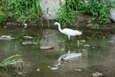 egret or heron taken on walking down the stream in seoul, south korea.