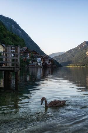 swan birds floating on top of the hallstatt lake in Austria.